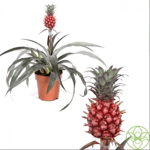 Как посадить ананас в горшок в домашних условиях?, фото-1